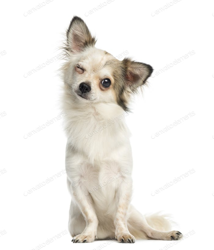 Chihuahua sitting, facing, blinking, 1 year old, isolated on white