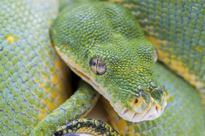 Green tree python isolated on white background