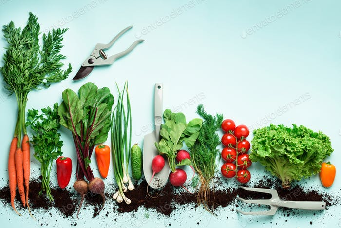 Organic vegetables and garden tools on blue background with copy space. Top view of carrot, beet