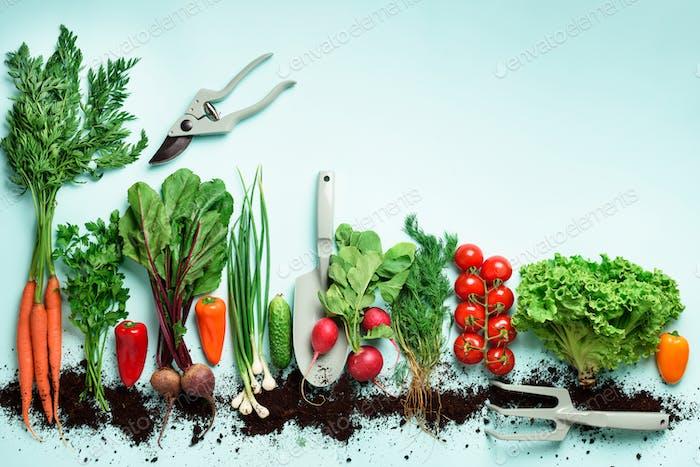 Bio-Gemüse und Gartengeräte auf blauem Hintergrund mit Kopierraum. Ansicht von oben von Karotte, Rübe