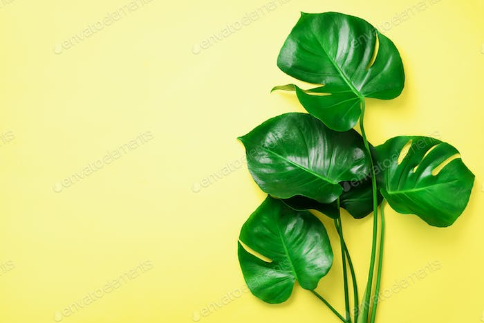 Green monstera leaves on yellow background with copy space. Top view. Minimal design. Exotic plant