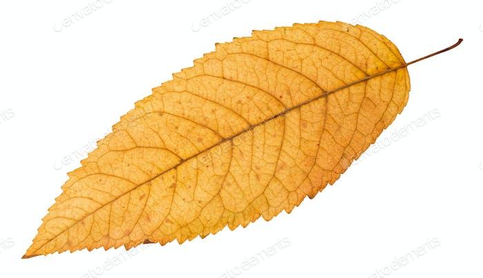 Rückseite des gefallenen gelben Blattes der Esche