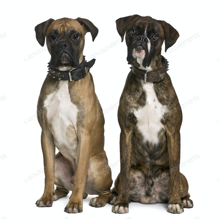Two Boxer dogs, 1 year old, sitting in front of white background