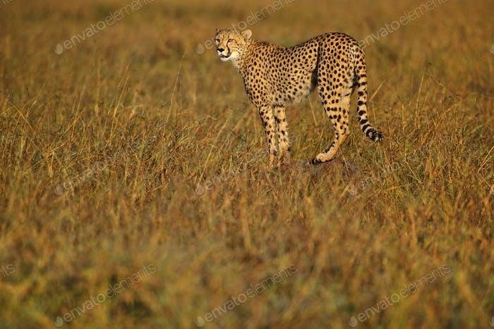 Cheetah hunting, Acinonyx jubatus, Kenya