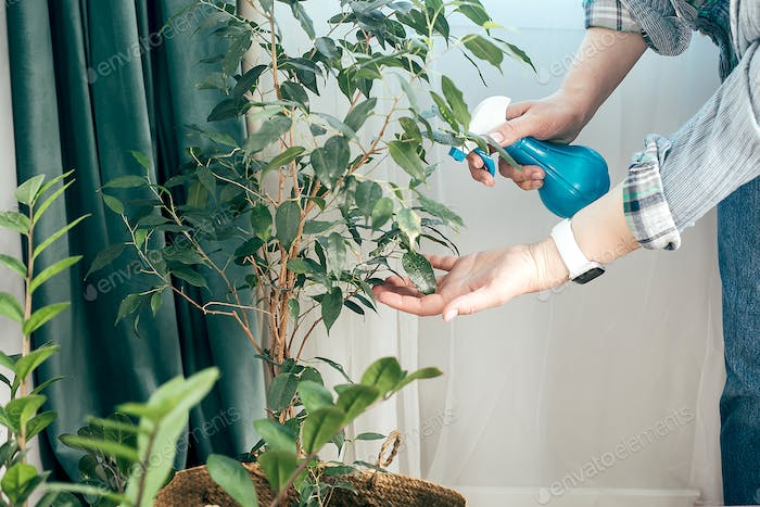 Woman cleaning leaves of potted plants at home. Care of indoor plants, spring cleaning concept.