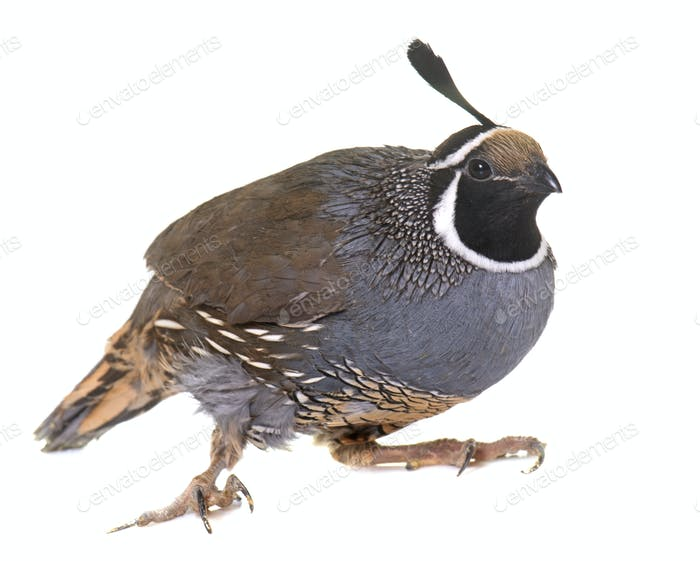 California quail in studio