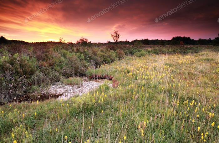 purple sunrise over moorland with asphodel