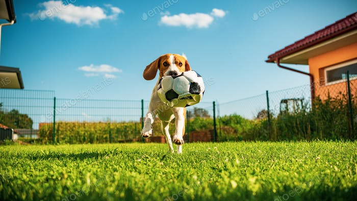 Dog beagle purebred running with a football ball in park outdoors towards camera summer sunny day on