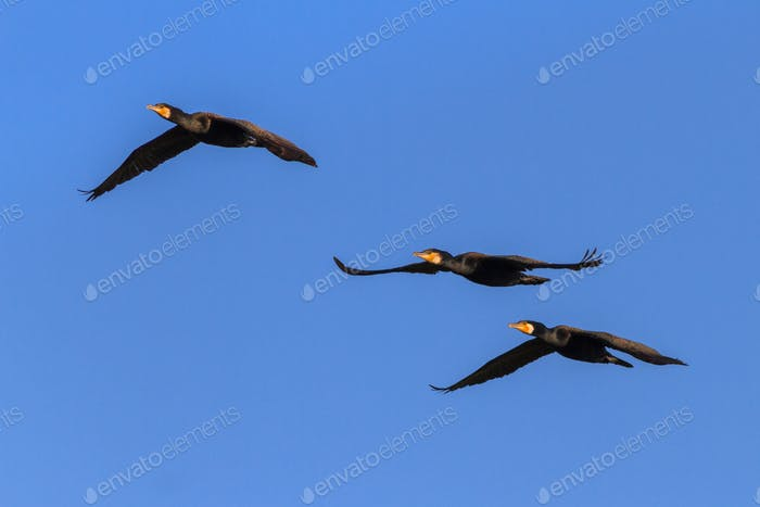 cormorants (phalacrocorax carbo ) in flight