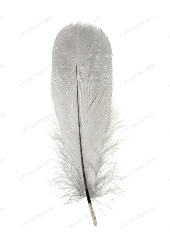 Single grey birds feather isolated on white