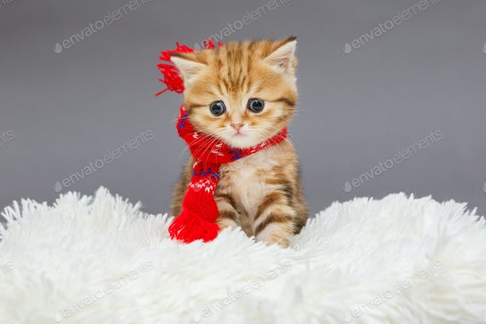 Little  kitten  in a red scarf