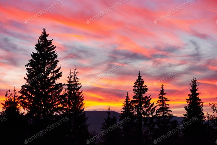 Majestic sky, pink cloud against the silhouettes of pine trees in the twilight time. Carpathians