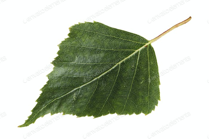 Birch leaf isolated on a white background