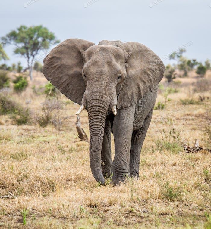 Elefant zu Fuß in Richtung Kamera im Krüger National Park, Südafrika.