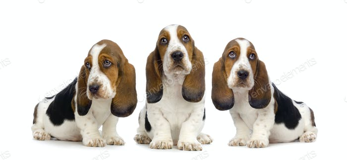 Basset Hound  Puppies -  Hush Puppies