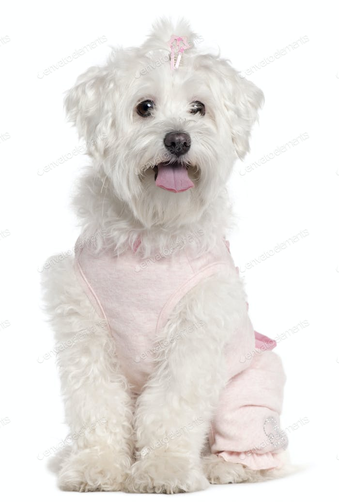 Maltese wearing pink, 3 years old, sitting in front of white background