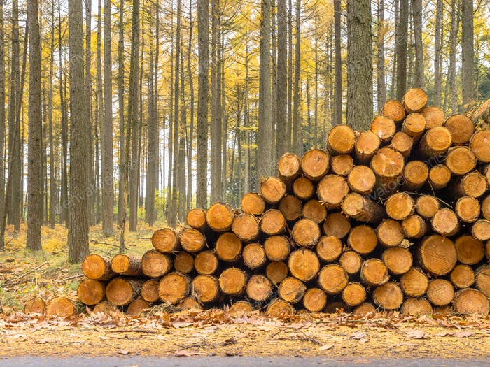 Stack of Timber in a Yellow Colored Larch Forest