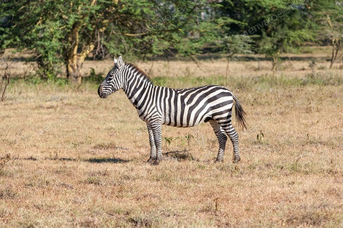 Zebra in the grasslands