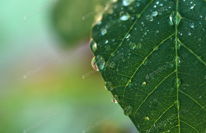 The water drops on the green leaf