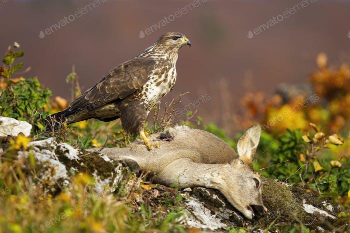 Common buzzard standing on dead prey in autumn mountains