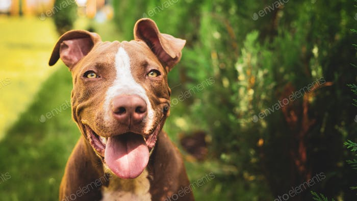 Young American Staffordshire pitbull dog outdoors in summer day