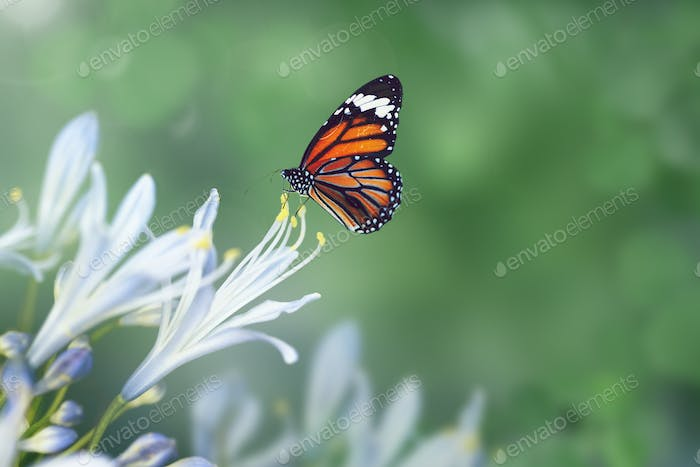 Monarch butterfly on an agapanthus stamen