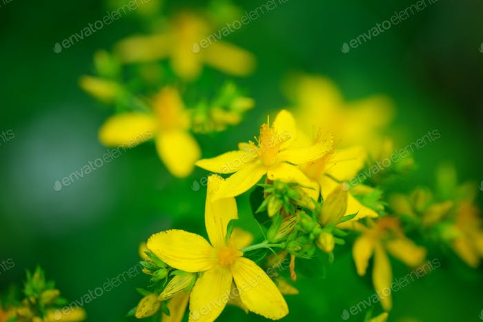 Hypericum flowers (Hypericum perforatum or St John's wort) on th