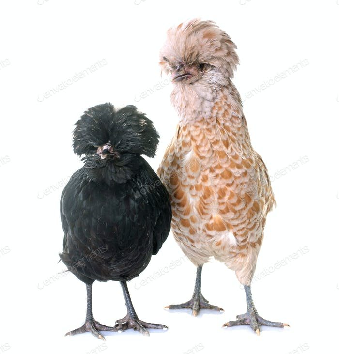 two Padovana chicken
