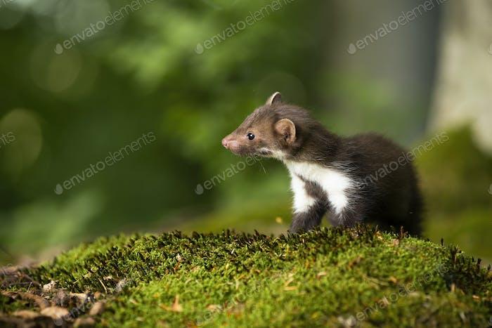 Little beech marten cub looking aside on green moss in forest