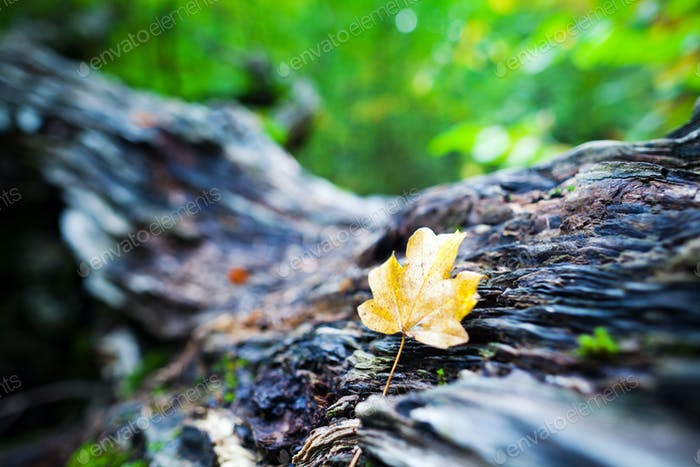 Autumn leaf lies on a big old stump