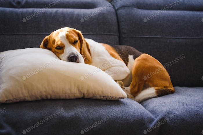 Beagle dog tired sleeps on a couch in funny position