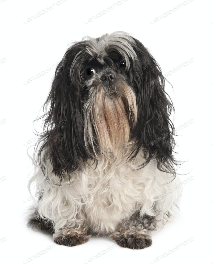 Shih Tzu (4 years old)