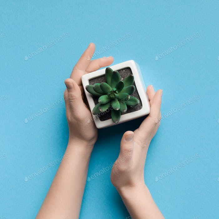 Female hands holding succulent plan on blue background