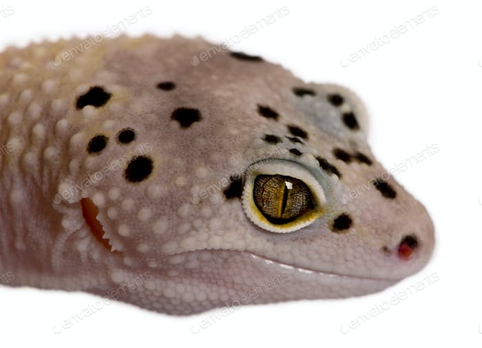 Bell albino bolt strip leopard gecko, Eublepharis macularius, in front of white background