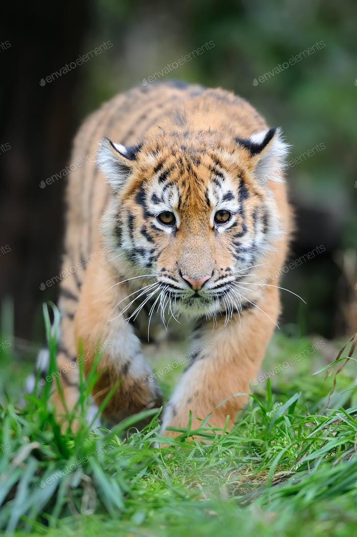 Portrait of a tiger cub