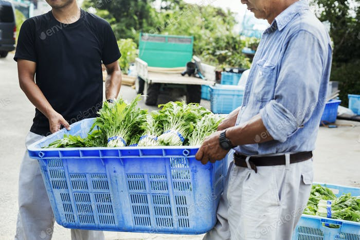 Two men carrying a crate of harvested Mizuna vegetables.