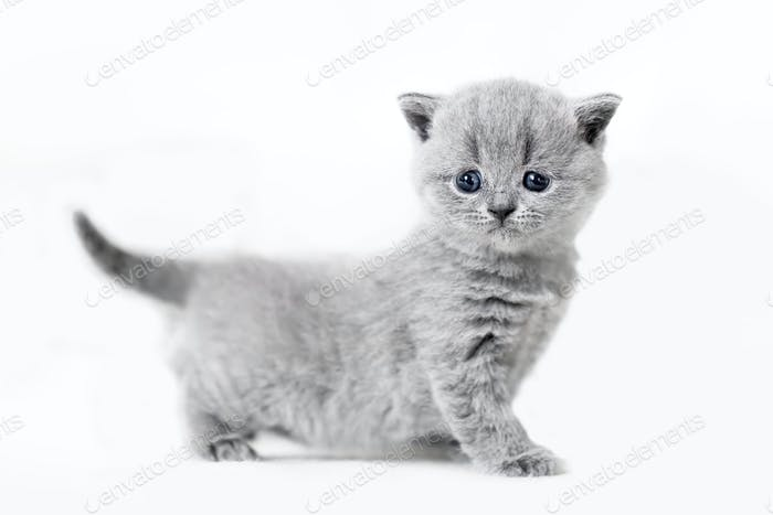 Cute kitten portrait. British Shorthair cat