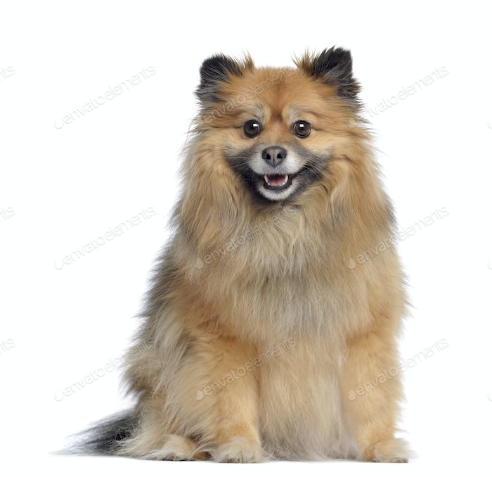 Spitz, 3 years old, sitting and panting, isolated on white