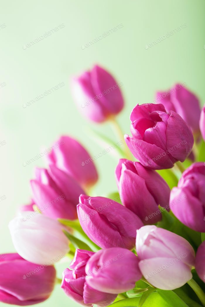 beautiful purple tulip flowers background