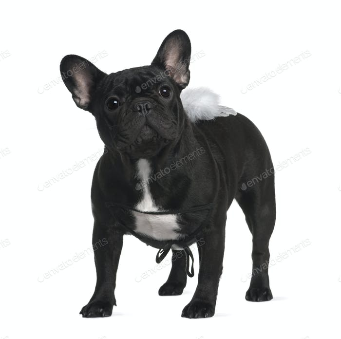 French Bull dog, 1 year old, standing in front of white background