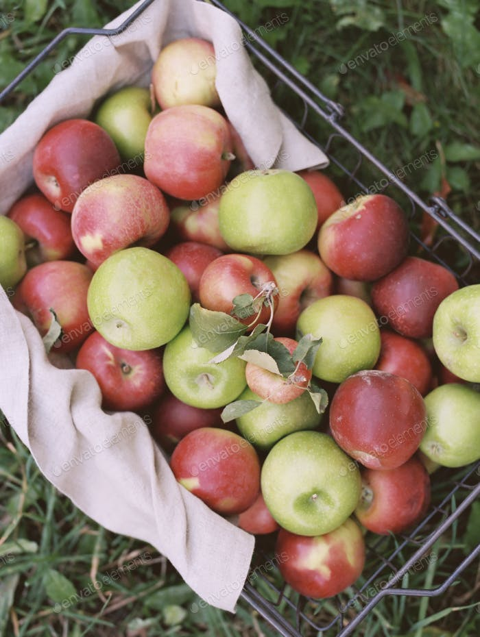 Apple orchard. A basket of apples.
