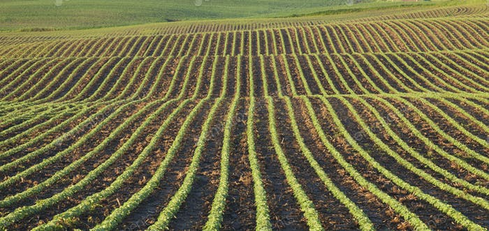 Rows of Young Soybean Plants in Field