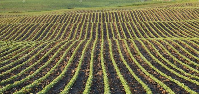 Reihen junger Sojabohnen im Feld