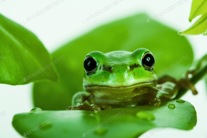 Green tree frog peeking out from behind the leaves