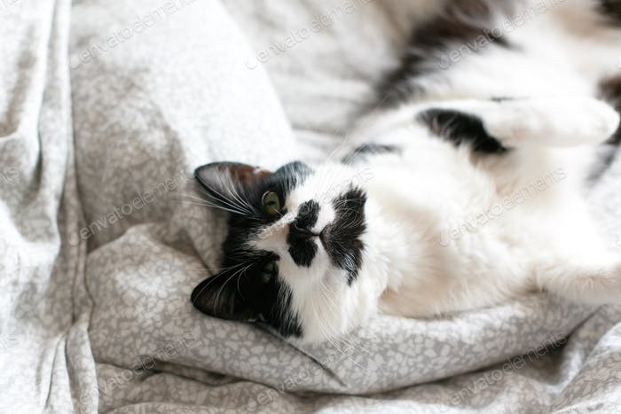 Sweet black and white cat with moustache resting on bed in morning