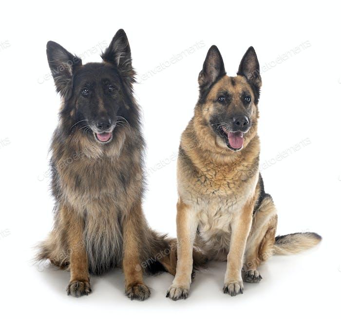 german shepherds in studio