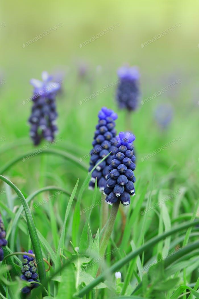 Blaue Hyazinthe Blumen