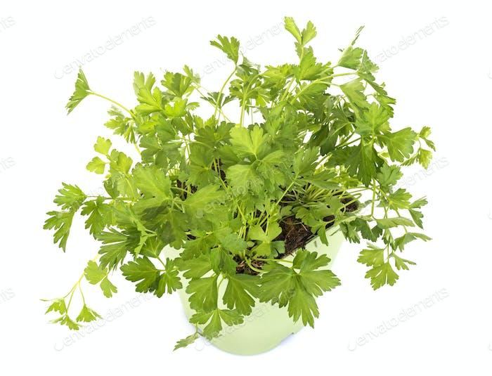 parsley in studio