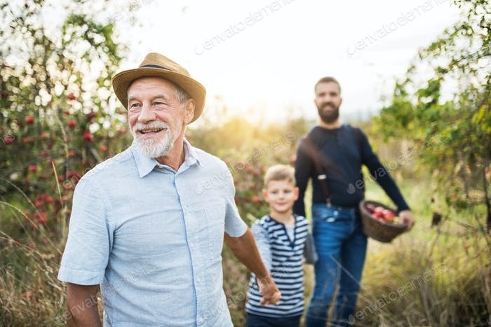 A small boy with father and grandfather walking in apple orchard in autumn.