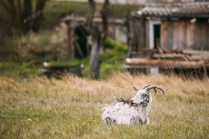 Goat Sitting In Spring Grass In Village. Farm Animal